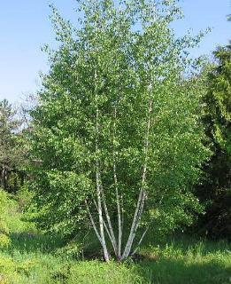 خواص درخت غان برای لاغری و دیگر موارد