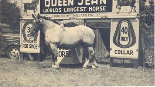 بزرگترین اسب تاریخ جهان (عکس)