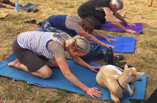 عکس هایی از تمرینات جدید یوگا به همراه گوسفند