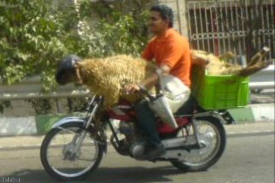 موتور سواری عجیب گوسفند !!! (عکس)