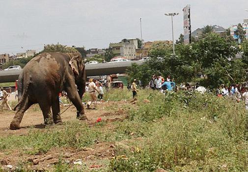 حمله فیل سیرک به خیابان در هند !+ عکس