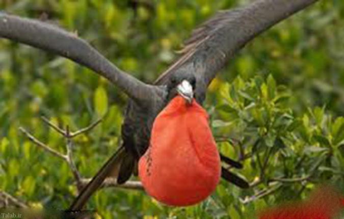 پرنده ای عجیب که در پرواز می خوابد (+عکس)