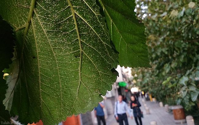 هجوم مگس های سفید به تهران !+ تصاویر