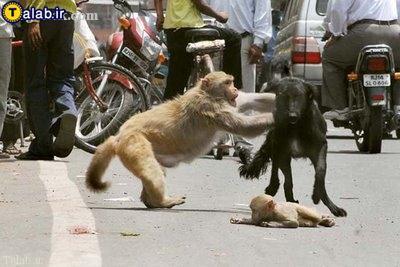 تلاش میمون مادر برای نجات بچه اش !+ تصاویر