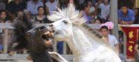 جنگیدن اسب ها با هم در چین (+عکس)