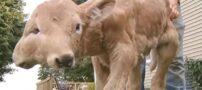 به دنیا آمدن گوساله عجیب 2 سر (+عکس)