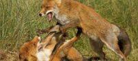 تصاویری جالب و دیدنی از دعوای حیوانات