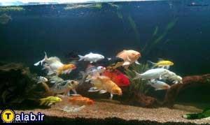 آشنایی با ماهی کوی (Koi)