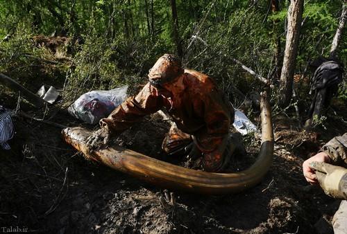 کشف بقایای ماموت ها توسط شکارچیان (+عکس)