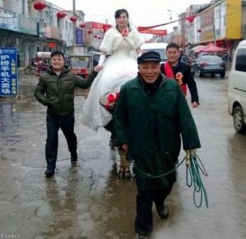 سواری نو عروس با گاو در روز عروسی (+عکس)