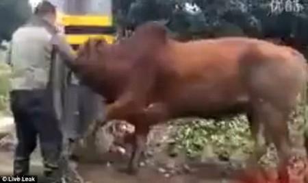 شکنجه ای وحشیانه گاو نر از طریق آلت تناسلی اش (+عکس)