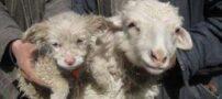 تولد عجیب گوسفند دارای توله سگ (+عکس)