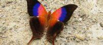 پروانه نادر و زیبا با بال های رنگارنگ (+عکس)