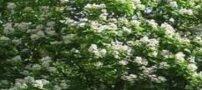 درخت جوالدوزک