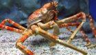 غول پیکر ترین خرچنگ دنیا در ژاپن (+عکس)