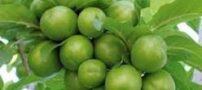 گوجه سبز و فواید آن