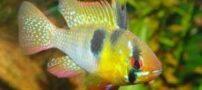 ماهی زیبای رامیزی