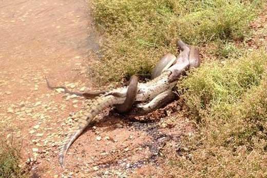 تصویری جالب از خوردن کروکودیل توسط یک مار