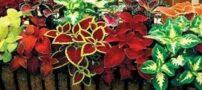 آشنایی با گل حسن یوسف