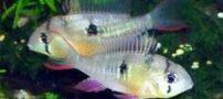 ماهی رامیزی بولیویایی