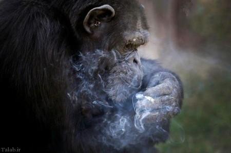 میمونی عجیب که روزی یک پاکت سیگار می کشد (+عکس)