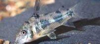 ماهی کریدوراس فلفلی