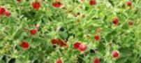 کشف گیاه ضد پیری