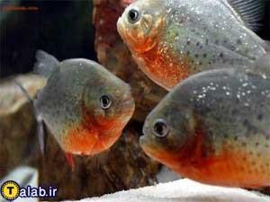 آشنایی با ماهی پیرانا