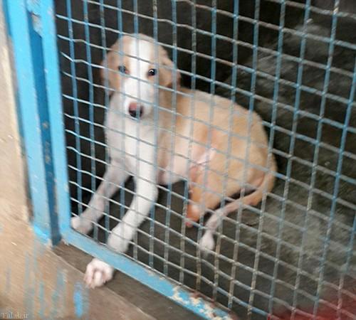 سگ عجیب با دو پا در هندوستان