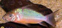 آشنایی با ماهی کریدوراس سبز