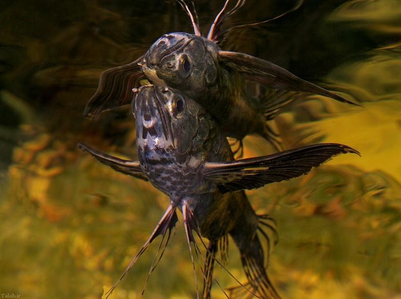 آشنایی با پروانه ماهی آفریقایی African Butterfly Fish