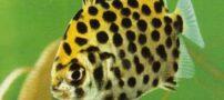 آشنایی با ماهی اسکات