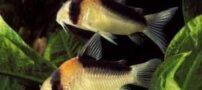آشنایی با ماهی کریدوراس آدولفو