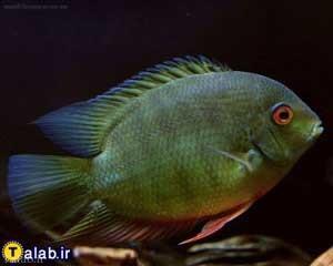 مشخصات ماهی سورم سبز