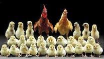ابتدا مرغ به وجود آمده تا تخم مرغ؟