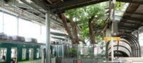 کهنسال ترین  درخت در ژاپن به قدمت 700 ساله