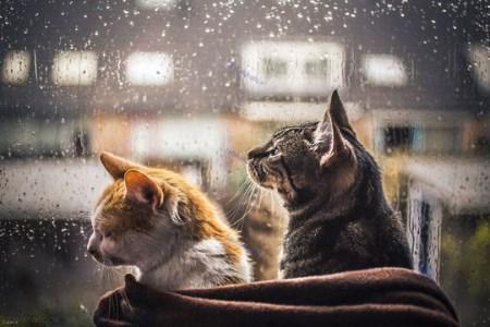 تصاویر جالب گربه های خانگی در پشت پنجره های بارانی