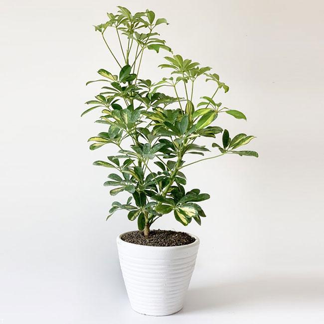 گیاه آپارتمانی شِفلِرا + شرایط نگهداری از گیاه آپارتمانی شِفلِرا