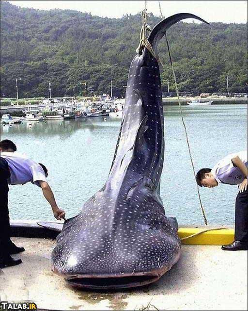عجیب و غریب ترین ماهیهای صید شده ( تصویری)