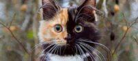 گربه زیبای دوصورته ! (عکس)