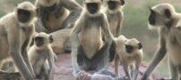 واکنش جالب میمون ها به مردن میمون عروسکی + عکس