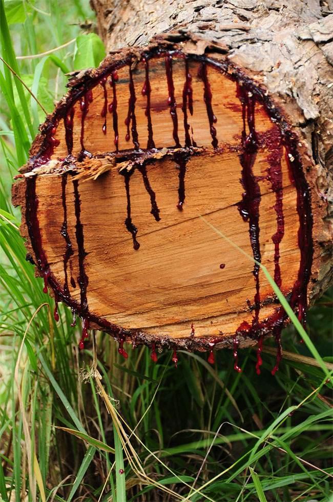 آشنایی با درخت عجیبی که پر خون است (عکس)