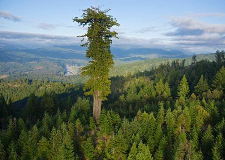 با بلند ترین درخت زنده ی دنیا بیشتر آشنا شوید