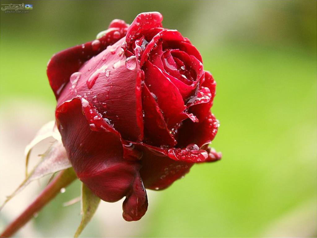 آیا بوییدن گل سرخ استرس را کاهش میدهد؟