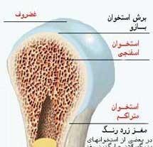 روند کامل رشد استخوان ها در تمام سنین مختلف