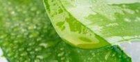 خواص گیاه آلوئه ورا و درمان سرماخوردگی
