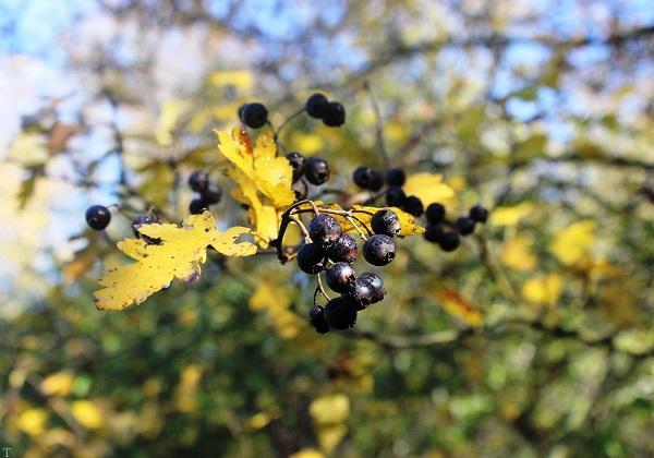خواص مفید میوه زالزالک وحشی