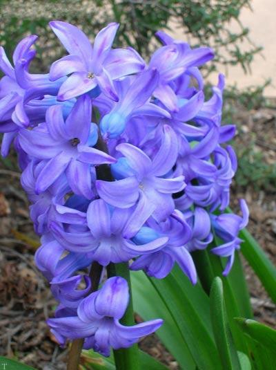 نحوه کاشت و نگهداری گل زیبای سنبل