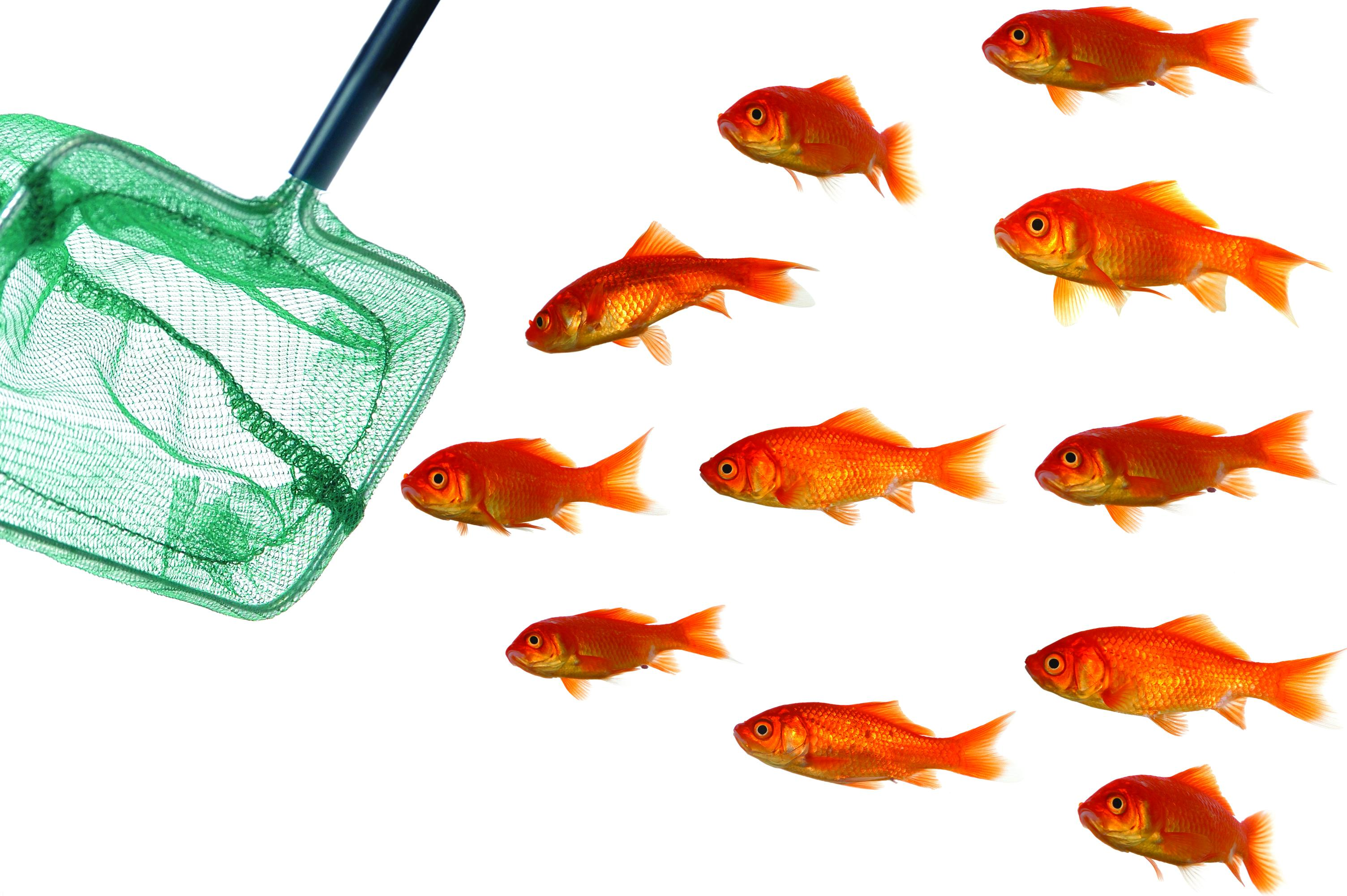 انواع ماهی های قرمز و تاریخچه آن