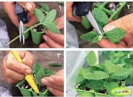 آشنایی با هنر قلمه زدن گیاهان